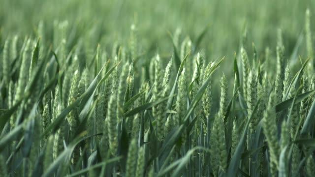 olgunlaşmamış buğday rüzgarda sallanan gönderiyor. ağır çekim vurdu - çavdar stok videoları ve detay görüntü çekimi