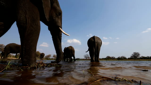 Unusual low angle view of elephants drinking at a river in the Okavango Delta video