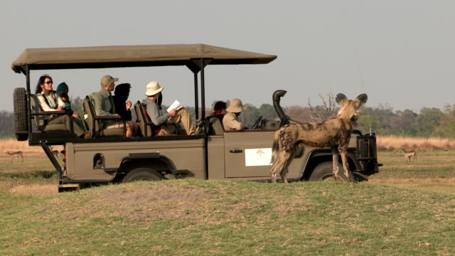 Unusual shot of wild dog using tourist safari vehicle for cover while hunting video