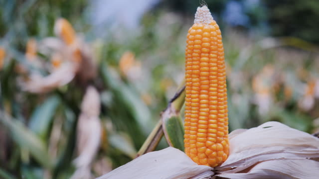 unwrapping dried corn. - stelo video stock e b–roll