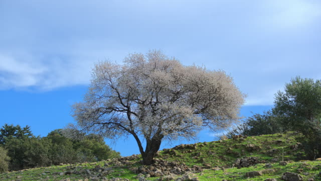 Up Pan Time Lapse Almond Tree Blooming Galilee video