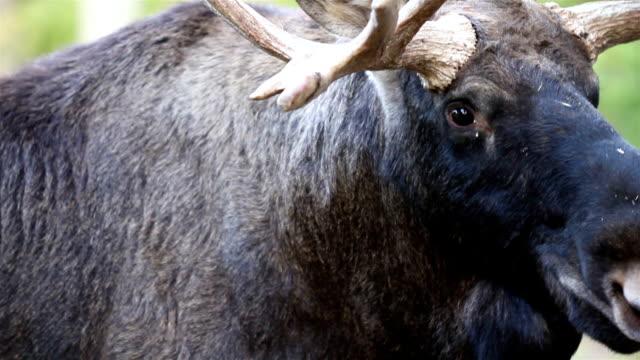 nähe bild des moose mit seiner großen antlers - elch stock-videos und b-roll-filmmaterial
