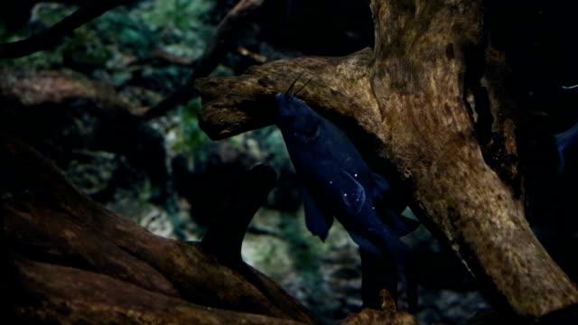 upside down catfish - siluriformes video stock e b–roll