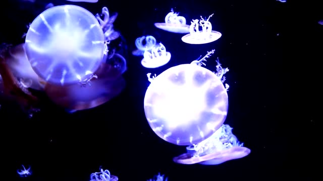 Upside-down jellyfish video