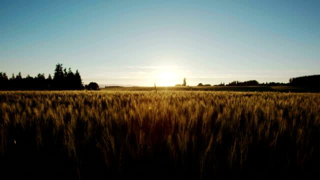 Upward Jib Shot of Wheat Field at Sunset video