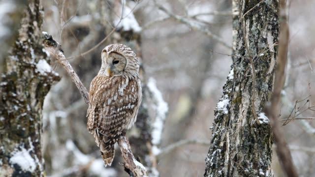 ural Owl in snowfall ural Owl in japan owl stock videos & royalty-free footage