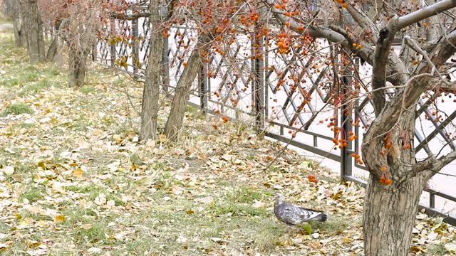 Urban bird pigeon dove is feeding on fruit, Malus Baccata, of ornamental crop of crab apple tree in autumn season