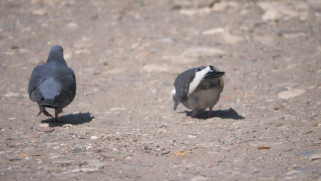 urban pigeon walking on the street in the city - vídeo