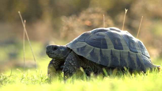 Тurtle in green grass Тurtle in green grass tortoise stock videos & royalty-free footage