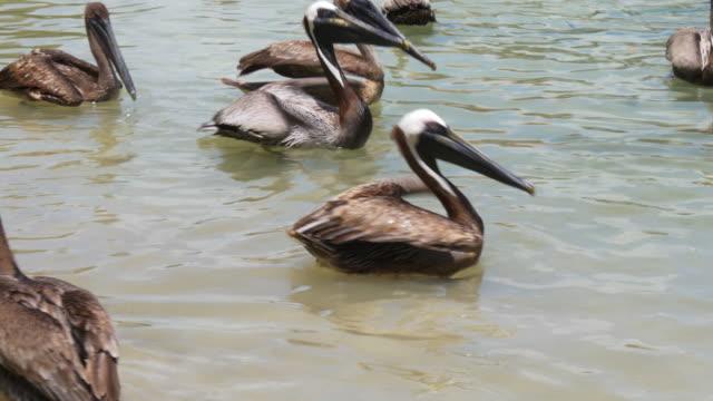 Usa summer day pelican ocean bay 4k florida summer day pelican ocean bay 4k florida usa pelican stock videos & royalty-free footage
