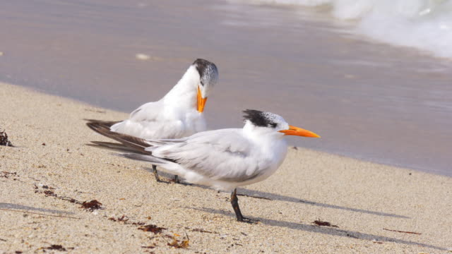 Usa sunny day miami beach ocean seagull cleaning 4k florida video