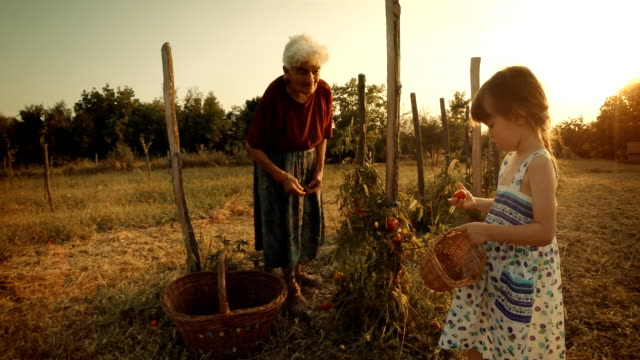 POV, User Generated Content. A Little Girl Learns From her Grandmother How to Pick Tomatoes. Real People, Rural Scene,. Lens Flare, Unusual Angle, GoPro. video