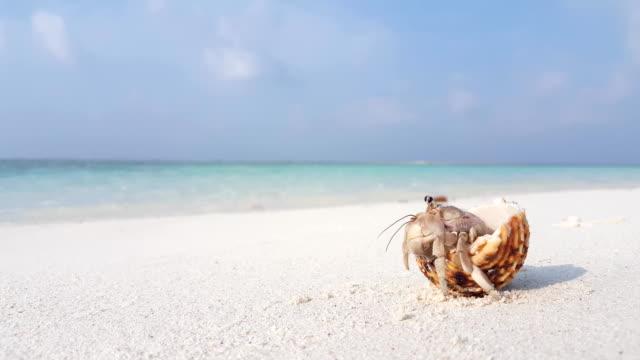 vidéos et rushes de v07542 coquillage de plage de sable blanc maldives sur l'île de paradis tropical ensoleillé avec ciel bleu aqua mer eau de mer 4k - coquillage
