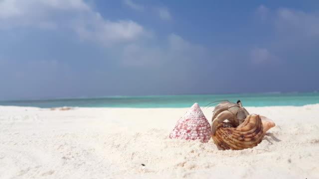 v07609 maldives white sandy beach hermit crab on sunny tropical paradise island with aqua blue sky sea water ocean 4k - granchio video stock e b–roll