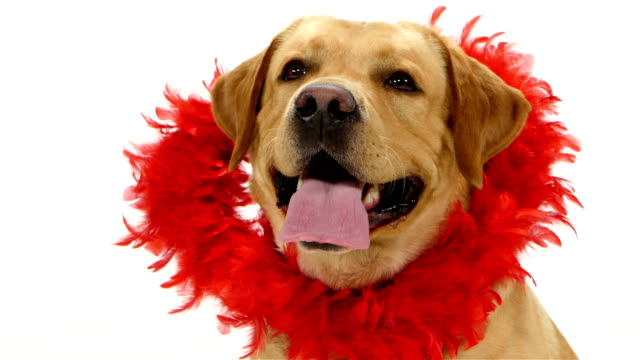 valentine labrador welpen hund und rot glitter herz isoliert auf - valentinstags karte stock-videos und b-roll-filmmaterial