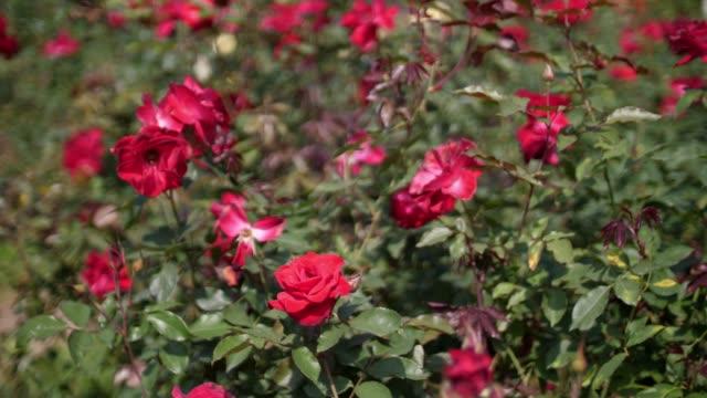 Valentine's day Rose