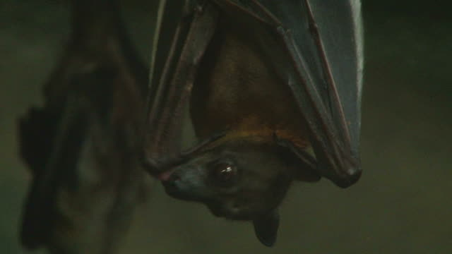 Vampire Bat Close up shot of a vampire bat hanging upside down cleaning itself then listening intently to sound. animal wing stock videos & royalty-free footage