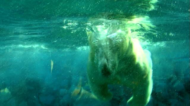 various clips of a polar bear swimming underwater - polarklimat bildbanksvideor och videomaterial från bakom kulisserna