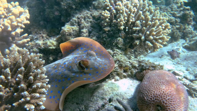 vídeos de stock e filmes b-roll de various shots of friendly and curious blue-spotted stingray on shallow reef. - uge