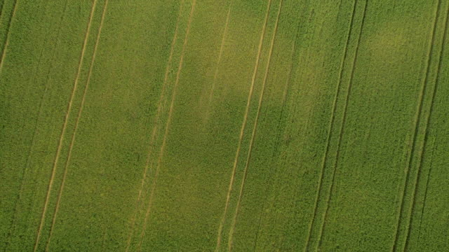 AERIAL: Vast field of young green wheat in summer video