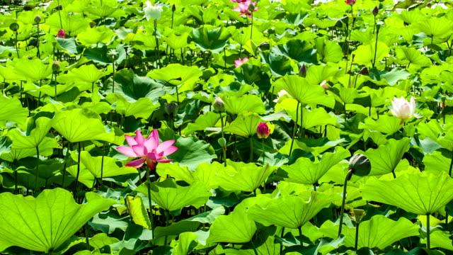 Vast lotus field in wind. video