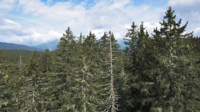 AERIAL Vastness of a coniferous forest video
