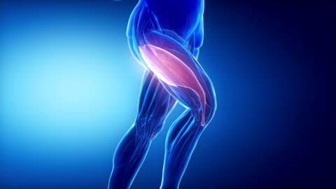 vastus lateralis bein muskeln anatomie anaimation - gliedmaßen körperteile stock-videos und b-roll-filmmaterial