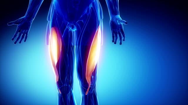 Vastus lateralis- muscle anatomy in loop video