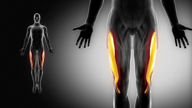 vastus lateralis-muskeln mit muskel-karte anzeigen - gliedmaßen körperteile stock-videos und b-roll-filmmaterial
