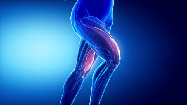 vastus medialis - leg muscles anatomy animation video