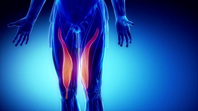 VAstus medialis - muscle anatomy in loop video