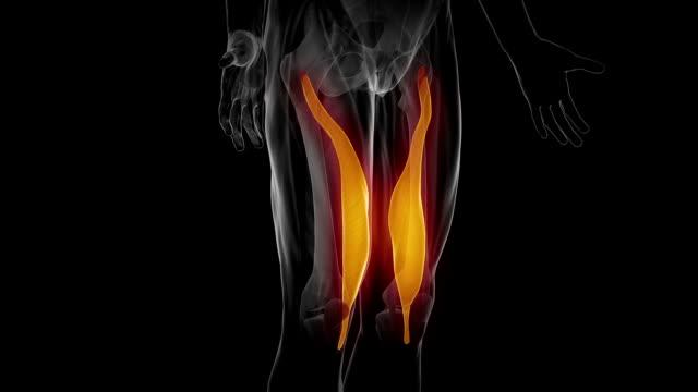 vastus medialis -可視筋肉部位のマップ - 人の脚点の映像素材/bロール