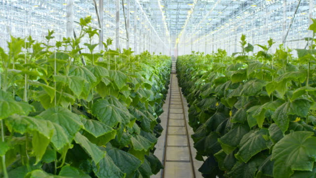 Vegetable Plants Growing in Hydroponic Greenhouse video
