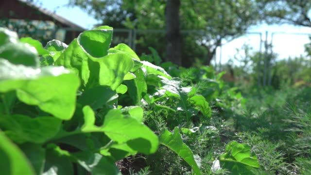 grönsaks tomt i slow motion 250fps - pea sprouts bildbanksvideor och videomaterial från bakom kulisserna