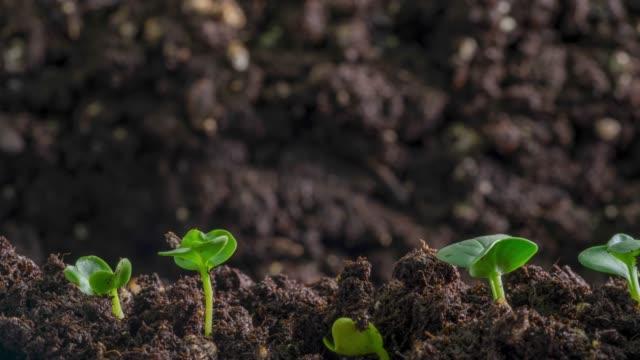 la germinazione dei semi vegetali nuova vita inizia farmin biologico - fertilizzante video stock e b–roll