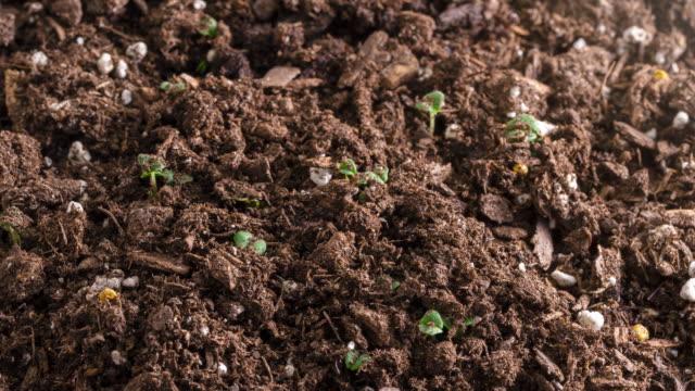 vidéos et rushes de le temps des légumes laps de graines de croissance et de germination de nouveau printemps de vie - équipement agricole