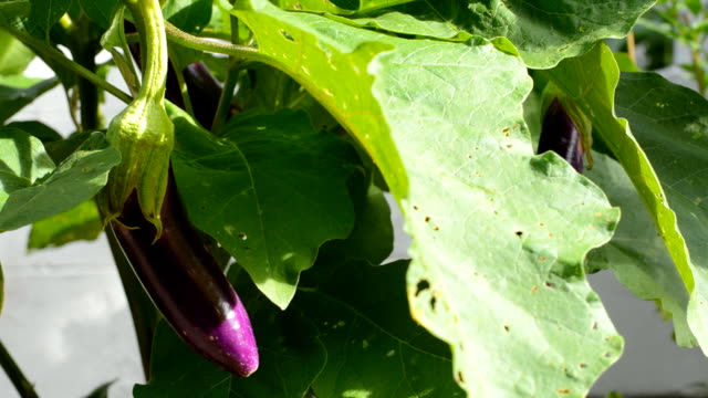 Vegetables, eggplant, Aubergine video