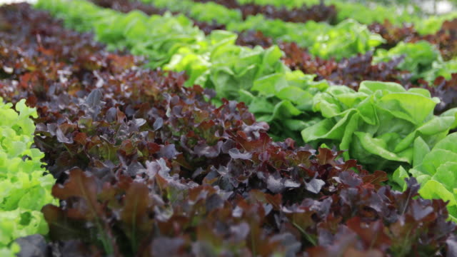 vegetables organic and Hydroponic vegetables Cabbage growing in a farmer's field vegetables organic and Hydroponic vegetables Cabbage growing in a farmer's field hydroponics stock videos & royalty-free footage