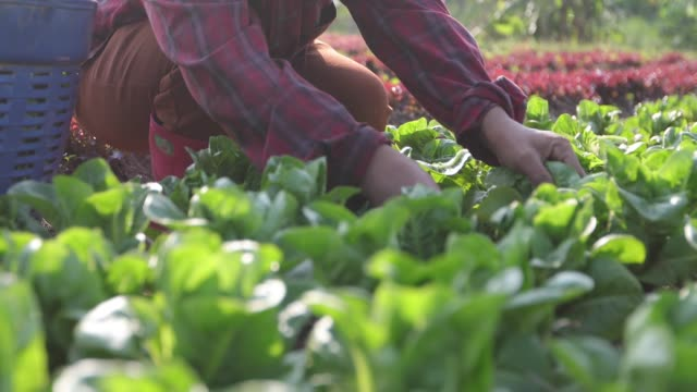vegetables organic and Hydroponic vegetables Cabbage growing in a farmer's field video