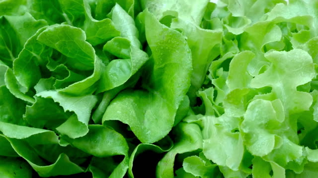 vegetables organic and hydroponic vegetables cabbage - lattuga video stock e b–roll