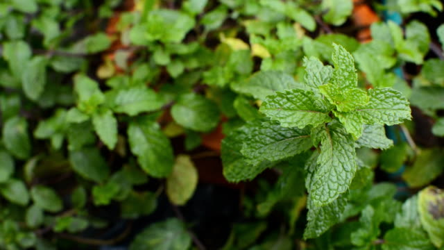 Vegetables, peppermint plants, mint leaves, camera dolly video