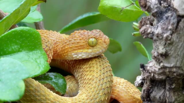 vídeos y material grabado en eventos de stock de víbora venenosa bush en árbol moviendo la lengua 4k - serpiente