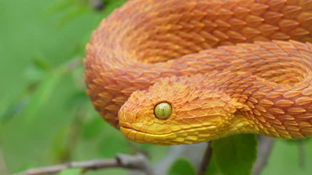 Venomous Bush Viper Snake Flicking Tongue 4K