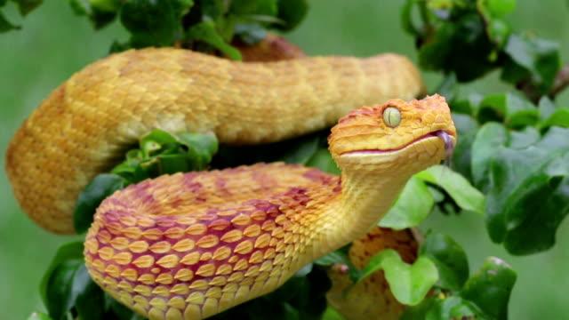 venomous bush vipera serpente flicking linguetta - fare la lingua video stock e b–roll
