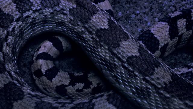 Venomous snake spotted on the desert at night