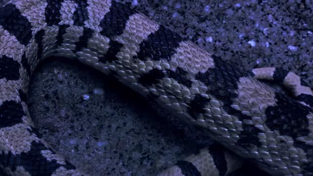 vídeos y material grabado en eventos de stock de serpiente venenosa descubierta en el desierto por la noche - serpiente