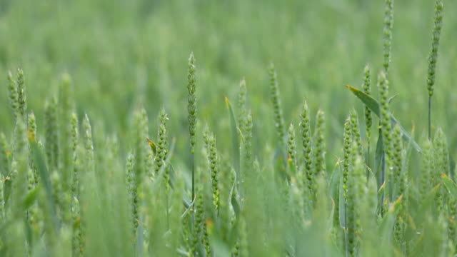 Vernal rain on green wheat field. Close up of young green wheat germ video