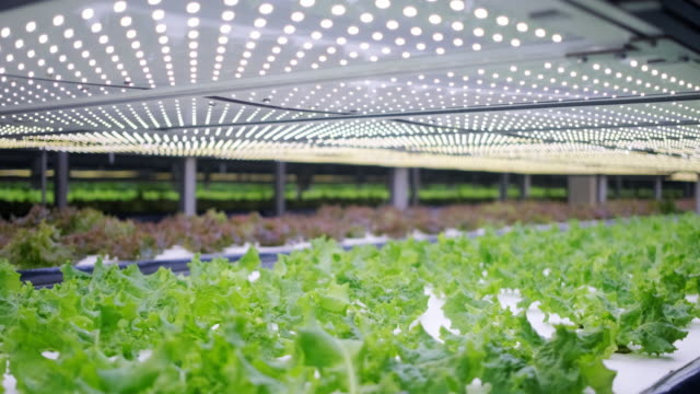 Vertical Farming Offers a Path Toward a Sustainable Future Vast indoor farming facility with stacks of carefully tended living lettuce crops lit by an array of LED lights. hydroponics stock videos & royalty-free footage