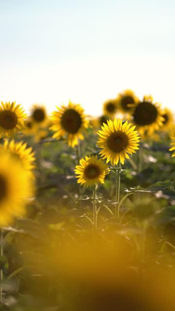 垂直ビデオ。夏の畑の美しい黄色のひまわり。オレンジ色のひまわり畑。 ビデオ