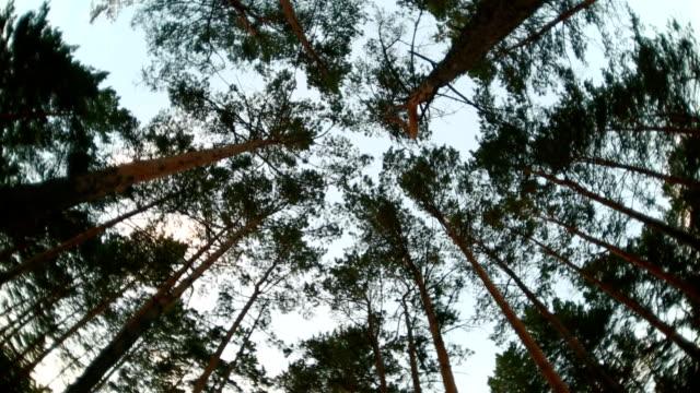 Vertigo in beautiful summer high pine forest with blue sky video
